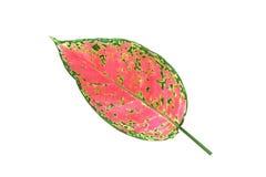 листья одиночные Стоковая Фотография