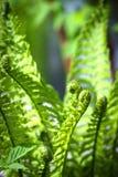 листья папоротника зеленые изолированные белые Стоковое Фото