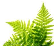 листья папоротника зеленые изолированные белые Стоковая Фотография RF