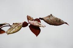 листья подняли Стоковое Изображение