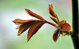 листья подняли Стоковое Изображение RF