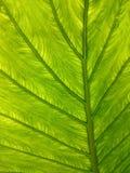 листья предпосылки зеленые естественные Textu контраста растительности backlight Стоковое Фото