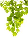 листья предпосылки зеленые изолированные белые Стоковые Фотографии RF
