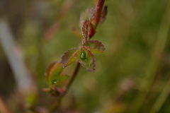 листья розы Стоковые Изображения