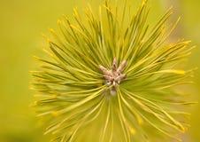 листья сосны Стоковая Фотография RF