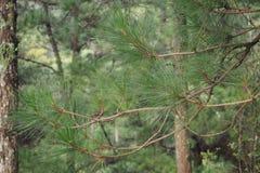 листья сосны Стоковая Фотография