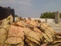 листья табака Стоковое Изображение