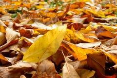 листья упаденные осенью Стоковые Изображения