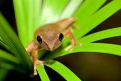 листья лягушки зеленые Стоковые Фотографии RF