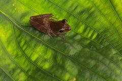 листья лягушки зеленые Стоковые Изображения