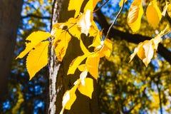 листья ярких цветов ветви осени освещенные контржурным светом предпосылкой золотистые выходят клену желтый цвет вала солнца помер Стоковое Изображение RF