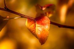 листья ярких цветов ветви осени освещенные контржурным светом предпосылкой золотистые выходят клену желтый цвет вала солнца помер Стоковое Фото