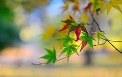 листья ярких цветов ветви осени освещенные контржурным светом предпосылкой золотистые выходят клену желтый цвет вала солнца помер Стоковая Фотография