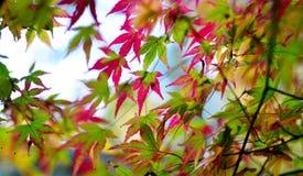 листья ярких цветов ветви осени освещенные контржурным светом предпосылкой золотистые выходят клену желтый цвет вала солнца помер Стоковые Изображения RF