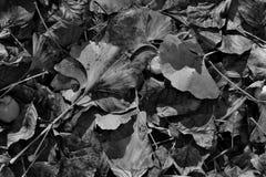 листья ginkgo фокуса biloba выходят отмелыми Стоковое Изображение