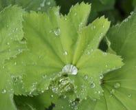 листья Ladys-хламиды Стоковые Фото