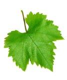2 листь виноградины Стоковые Изображения RF