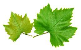 2 листь виноградины Стоковая Фотография