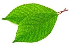 2 листь вишни Стоковые Фото