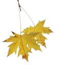 2 листь дерева парасоля Стоковое Изображение RF