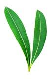 2 листь зеленых оливки Стоковая Фотография