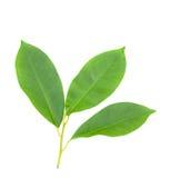 3 листь изолированного на белой предпосылке Стоковое Изображение