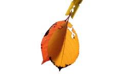 2 листь осени с зажимкой для белья Стоковое Фото