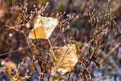 2 листь осени с падениями росы на кусте Стоковое Фото