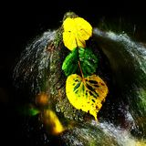 3 листь ольшаника в потоке Деталь желтых лист зеленого ольшаника Стоковые Изображения RF
