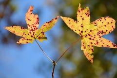 2 листь падения Стоковые Изображения RF