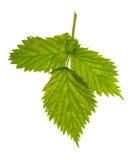 3 листь поленики зеленых изолированного на белизне Стоковая Фотография