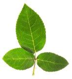 3 листь розы изолированной на белизне Стоковое Изображение