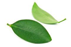 2 листь Стоковые Фотографии RF