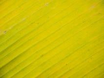 лист банана стоковая фотография