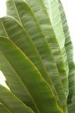 лист банана Стоковая Фотография RF
