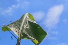 лист банана Стоковые Фото