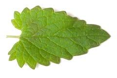 лист бальзама лимона изолированных на белой предпосылке Стоковая Фотография RF