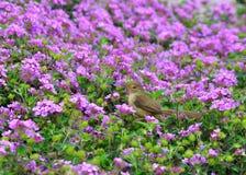 Исчерченная певчая птица Fantail Стоковое Изображение RF