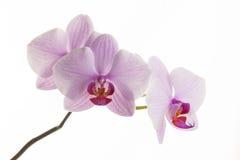 Исчерченные пинком цветки орхидеи Стоковое фото RF
