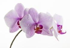Исчерченные пинком цветки орхидеи Стоковая Фотография RF