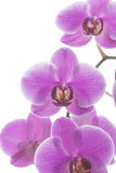Исчерченные пинком цветки орхидеи Стоковое Изображение
