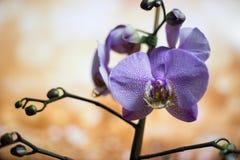 Исчерченные цветки орхидеи красивейшая орхидея цветков орхидеи, фиолетовые Красивое фиолетовое дерево цветка орхидеи с тоном захо Стоковая Фотография RF