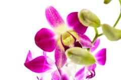 Исчерченный пинком цветок орхидеи Стоковая Фотография RF