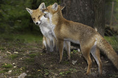 2 лисы в влюбленности стоковая фотография rf