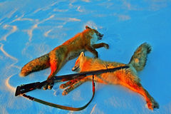 2 лисы трофеев и оружие в зиме на снеге после охотиться Стоковые Фото