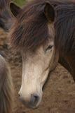 Исландия. Голова лошади Брайна исландская. Стоковое Изображение