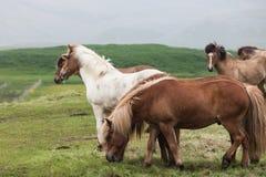 Исландия Лошади в лужке Стоковое Изображение