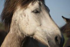 Исландская белая лошадь Стоковые Изображения RF