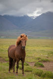 Исландская лошадь в ландшафте Стоковое фото RF
