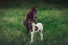Исландская лошадь с ее осленком на зеленой травянистой предпосылке стоковое изображение rf